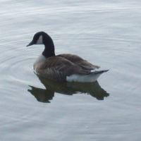 A Canada goose on the water