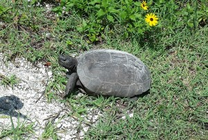 Sanibel Island wildlife: sorry, no alligators spotted, yet, but one Gopher Tortoise, strolling by