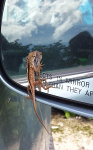 more wildlife: a brown anole, invasive species, everywhere on the island