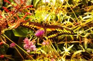 live butterfly exhibit in the Museum of Natural History