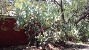 Cactus in Buffalo Gap, Texas.