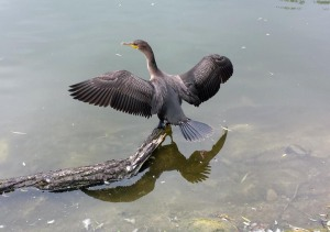 another visitor to Stratford, a cormorant