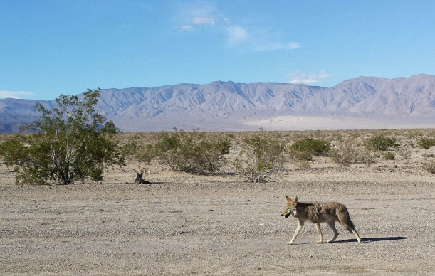 Coyotes. Adaptable creatures.